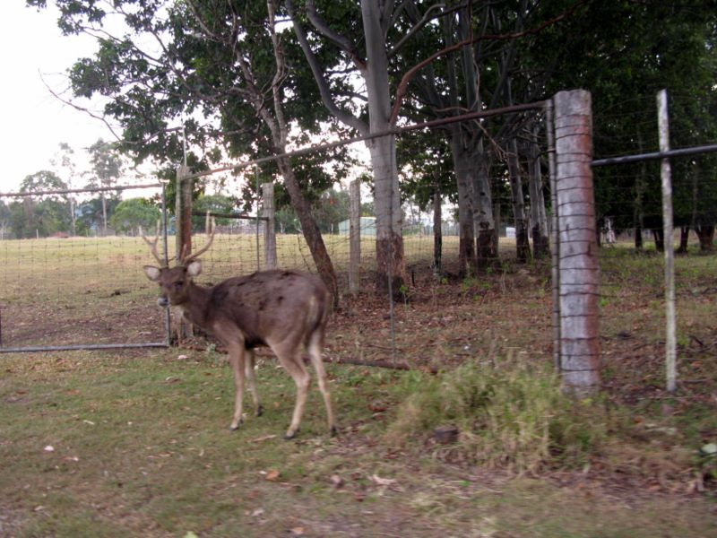 Borumba Deer Park and Caravan Park - Imbil: Deer
